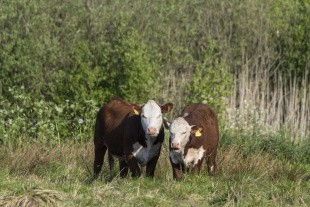 Kvæg skal redde sårbar natur