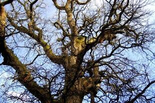Danskerne kan hjælpe med at frede gamle træer