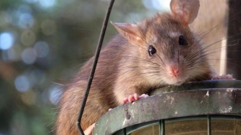 Rotteproblemer kan eskalere i ly af Covid-19
